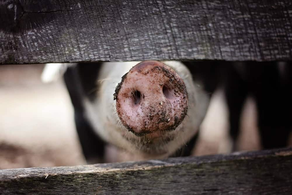 Pig farmers are going to have a rough time with the impending Chinese tariffs on exports (Source: Pexels)