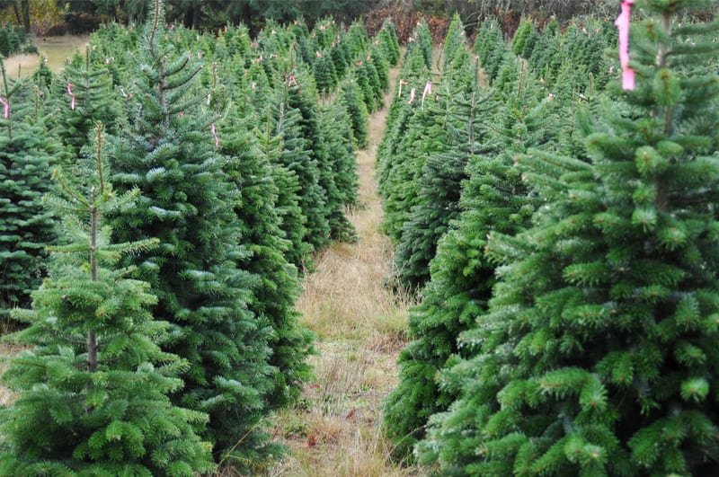 Photo of Christmas tree season puts crunch on capacity in Pacific NW