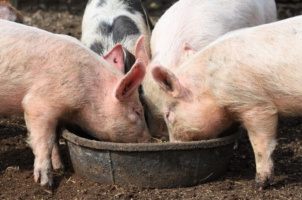 Photo of Today's Pickup: China increases U.S. pork exports after deadly viral attack on its local livestock