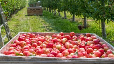Photo of Not liking them apples: An abundance of fruit and shrinking markets spell uncertainty for Washington apple growers