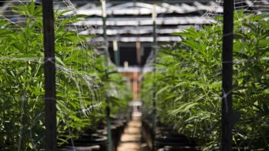 Medical marijuana company to audit supply chain for importing Canadian cannabis into Germany (Photo: Shutterstock)