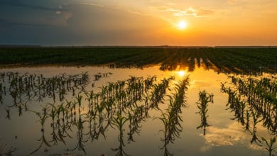 Photo of A wet spring delayed the U.S. corn harvest