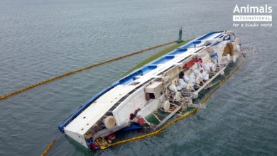 "Photo of ""Death ship"" capsize kills over 14,000 sheep (With Video)"