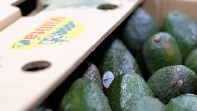Photo of US importer expects increase in Mexican avocados this winter
