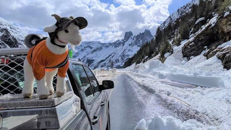 Mazama the Avalanche Rescue Goat on a snowy road in the Washington Cascades.
