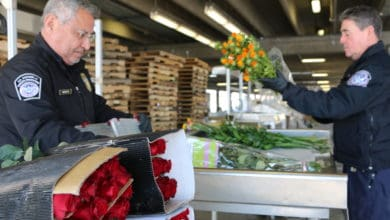 Photo of CBP inspectors check imported Valentine's Day flowers for pests and diseases