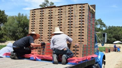 Workers loading pallets of strawberries onto a truck.