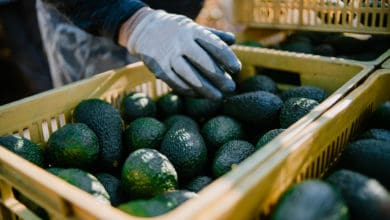 Photo of Borderlands: Avocados from Mexico fare well during pandemic; Caterpillar's Texas distributor hiring for new factory