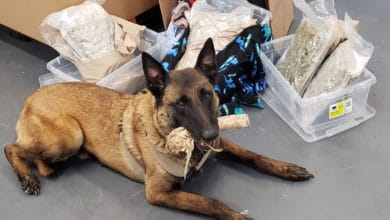 A U.S. Customs and Border Protection dog with a marijuana found as part of a surge of drug seizures from truck shipments coming from Canada. Marijuana seizures from trucks coming from Canada are increasing.