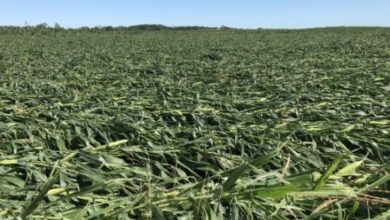 Photo of Windstorm destroys millions of acres of Midwestern crops