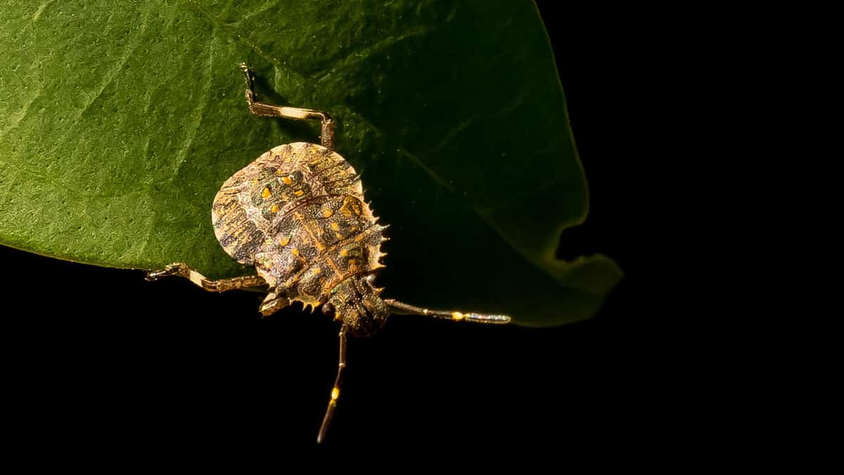 A brown marmorated stink bug on a green leaf. Australia is working hard to keep out the invasive pest by treating cargo shipments.