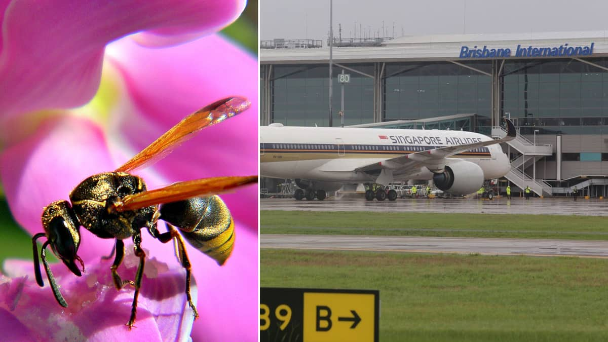 A mud dauber wasp on the left and Singapore Airlines jet at Brisbane Airport Terminal. Wasps pose a threat in Australia clogging up ports on planes.