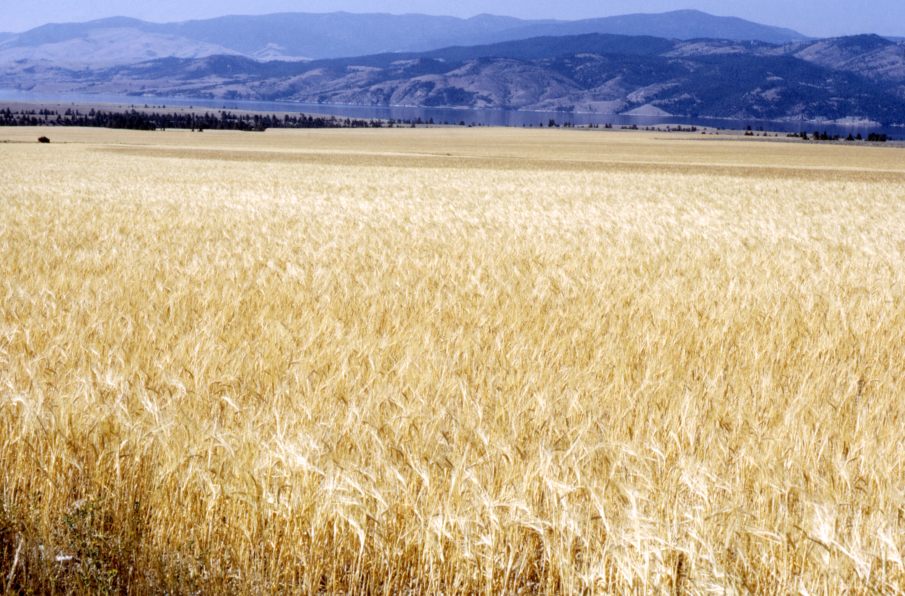 A photograph of a wheat field. A mountain range is in the distance.