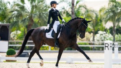 A dark brown show horse in a competition.