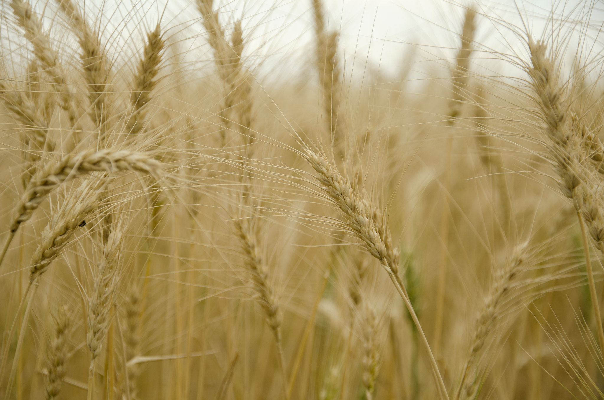 A photograph of strands of wheat.